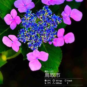 2020年6月23日(火)午前7時の気温20.2度、湿度96%、快晴で迎える鳥取市滝山の朝です。 写真は見ごろ続く今朝の紫陽花です。