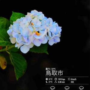 2020年6月24日(水)午前7時の気温21.5度、湿度88%、快晴で迎える鳥取市滝山の朝です。 写真は今朝の白紫陽花です。