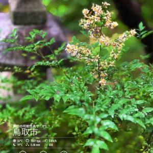 2020年7月4日(土)午前7時の気温20.2度、湿度92%、雨上がりのような鳥取市滝山の朝です。 写真は雨粒を乗せる今朝のナンテンの花です。