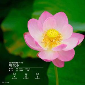 2020年7月8日(水)午前7時の気温22.0度、湿度92%、鳥取市滝山の朝です。 写真は先日の、鳥取県農業試験場・大賀ハスです。