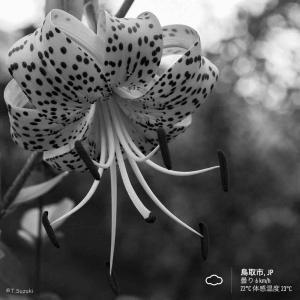 2020年7月24日(金)午前7時の気温23.1度、湿度84%、小雨降る鳥取市滝山の朝です。 写真は過日のオニユリです。