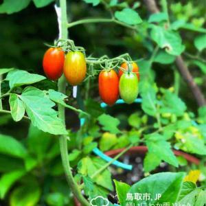 2020年7月26日(日)午前7時の気温23.7度、湿度80%、曇り空で迎える鳥取市滝山の朝です。 写真は今朝のミニトマトです。