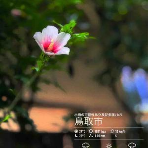 2020年7月28日(火)午前6時の気温27.8度、湿度78%、小雨降る鳥取市滝山の朝です。 写真は先日のムクゲです。