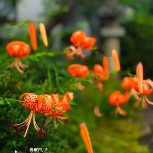 2020年7月30日(木)午前4時の気温24.1度、湿度94%、鳥取市滝山の夜明け前です。 写真は先日のオニユリです。