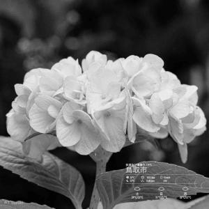 2020年7月31日(金)午前7時の気温24.8度、湿度84.%、朝陽をいただける鳥取市滝山の朝です。 写真は先日の紫陽花です。