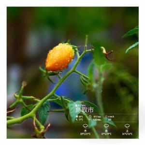 2020年9月16日(水)午前6時の気温20.0度、湿度92%、曇り空で迎える鳥取市滝山の朝です。 写真は雨の日曜日・ミニトマト、ラスト収穫の一コマです。