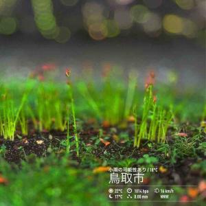 2020年9月27日(日)午前6時の気温20.9度、湿度84%、鳥取市滝山の朝です。 写真は今朝の川土手・彼岸花ツボミです。