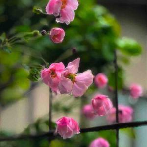 2020年10月17日(土)午前7時の気温12.9度、湿度88%、小雨降り寒い鳥取市滝山の朝です。 写真はお隣の秋明菊です。
