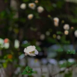 2020年10月18日(日)午前6時の気温10.6度、湿度88%、ウッ!寒い晴れの鳥取市滝山の朝です。 写真は我が家のまだ寝ている?宙に浮く秋明菊です。