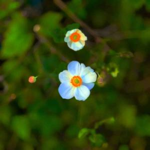 2020年10月19日(月)午前5時の気温12.0度、湿度84%、鳥取市若葉台の朝です。 写真は昨日元気に咲き誇る(目覚めた)宙に浮く秋明菊です。