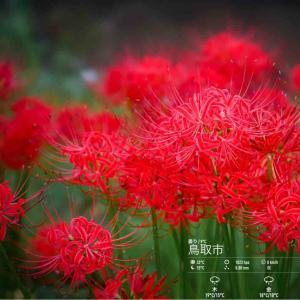 2020年10月21日(水)午前7時の気温10.2度、湿度88%、晴れて冷え込む鳥取市滝山の朝です。 写真は先日のヒガンバナです。
