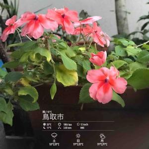 2020年10月23日(金)午前7時の気温15.5度、湿度92%、雨降りで迎える鳥取市滝山の朝です。 写真は昨日のインパチェンスです。