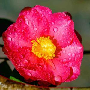 2021年1月22日(金)午前6時の気温6.6度、湿度96%、雨降りの鳥取市滝山の朝です。 写真は過日の雨のサザンカです。