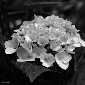 2021年6月17日(木)午前6時の気温21.1度、湿度90%、鳥取市滝山の朝です。 写真は過日のモノクローム紫陽花です。