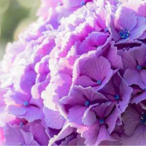 2021年6月23日(水)午前7時の気温20.1度、湿度80%、快晴で迎える鳥取市滝山の朝です。 写真は過日のキラキラ紫陽花です。