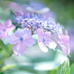 2021年7月28日(水)午前7時の気温24.3度、湿度86%、鳥取市滝山の朝です。 写真は淡く咲くアジサイです。