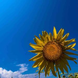 2021年8月21日(土)午前10時の気温26.4度、湿度72%、曇り空で迎える鳥取市滝山の朝です。 写真は過日の向日葵 at 北栄町 キラッと青空を見たいね。
