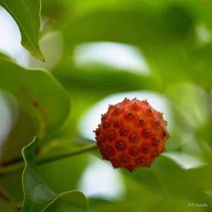 2021年9月10日(金)午前7時の気温18.5度、湿度72%、鳥取市滝山の朝です。 写真は過日撮影したヤマボウシ赤い実、毎年の楽しみ。