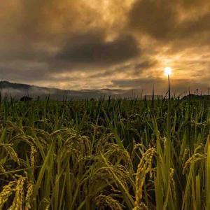2021年9月15日(水)午前5時の気温20.2度、湿度92%、鳥取市滝山の朝です。 黄金色の朝・朝もやに包まれた瞬間、過日撮影
