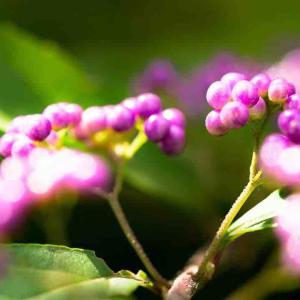 2021年9月16日(木)午前5時の気温16.6度、湿度90%、鳥取市滝山の朝です。 写真は過日撮影した紫式部です。