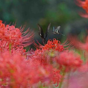 2021年9月26日(日)彼岸明け午前7時の気温18.9度、湿度84%、鳥取市滝山の朝です。 秋分の日、思い出舞う風景です。