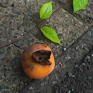 2021年10月23日(土)午前7時の気温11.6度、湿度66%、鳥取市滝山の朝です。 柿ころり