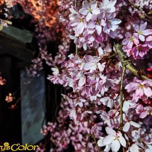 ファミリー(組織)の中での、大切な個性・役割「夜桜お七とガーベラの写真からの考察ww」