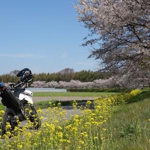 続・平成最後の桜