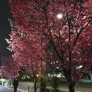 東邦医大通りの桜☆満開