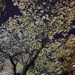 夜の桜、名古屋の路上