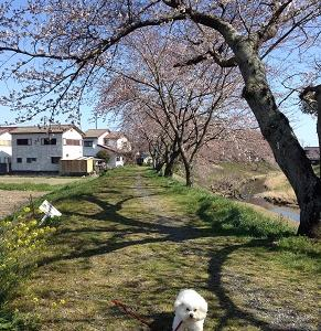 今年の桜はとても綺麗でした