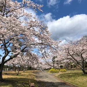 〜桜散歩*第2弾〜