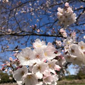 東京の桜で志村けんさんを偲ぶ