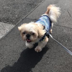 シーズー犬12才太郎王子の病気と最近の不調(クッシング症候群、膀胱尿路結石、目の腫瘍など)①