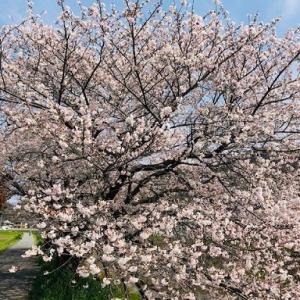 *桜ピンク、大人にも相性よしのDaniel Wellingtonの新アイテム!