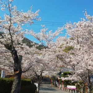 龍野公園の桜は満開でした