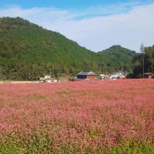 赤そばの花畑とコスモス畑