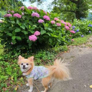 紫陽花ロードを歩いてきました。