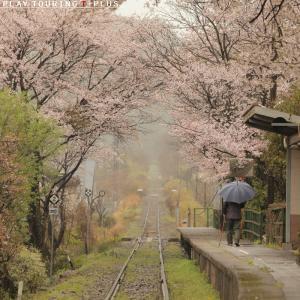 しとしと雨と桜