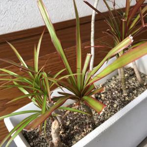 観葉植物冬支度