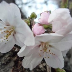 春のお花と 薔薇のトゲ
