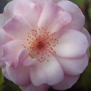 想定外の薔薇~「トライアスロン」