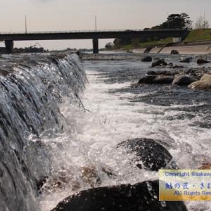 2020/04/09 酒匂川・鮎遡上 松田地区へ