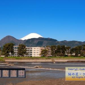 2020/04/19 酒匂川・鮎遡上 ダム放流で好転する?