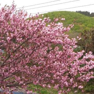 二階の仕事部屋から見える桜が満開