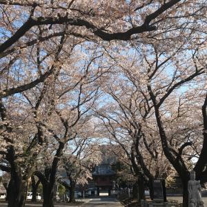 桜の偵察?