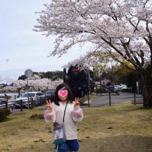 桜 散歩。