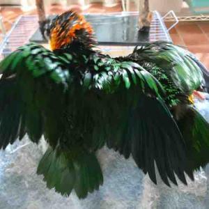 シロハラ、ズグロ みんなで水浴び!