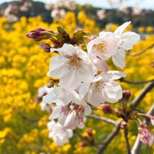 婚活デートにお勧めの磐田市桶ヶ谷沼菜の花畑