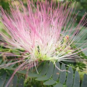 ネム(合歓)の花